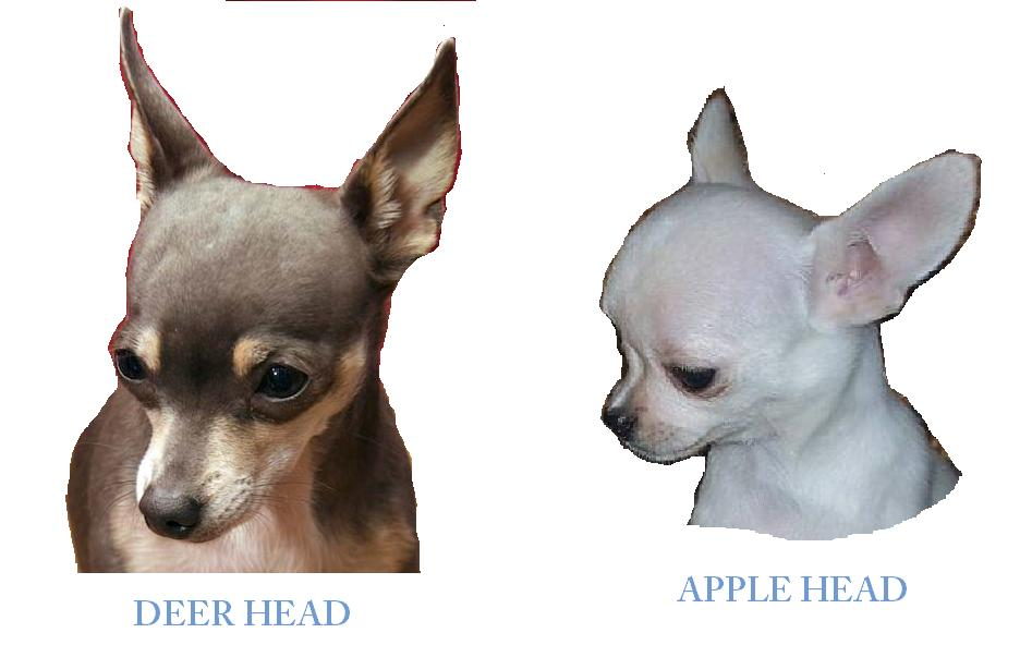 "The great debate of chihuahua-ness is ""apple"" heads and ""deer"" heads ..."
