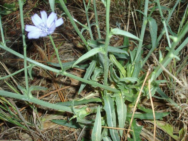ACHICORIA: Cichorium intybus