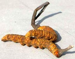 Cordyceps sinensis is a medicinal herb that is widespread in China and Asia.