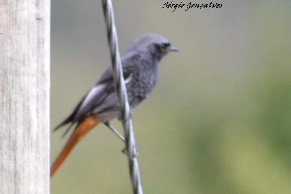 Rabirruivo-preto Phoenicurus ochruros - Macho