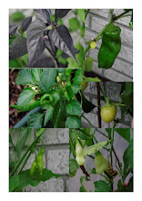 Chili - von der Aussaat zur Pflanze