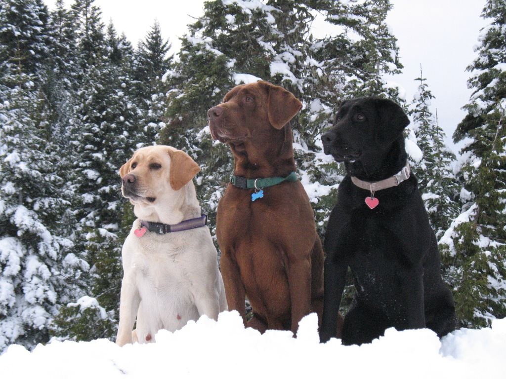 """Hanley Country Canines: """"Chocolate Labs are Stupid and Hyper!"""""""