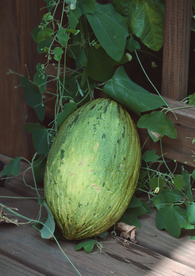 The Flying Clubhouse: Sunset Picnic - Santa Claus melon