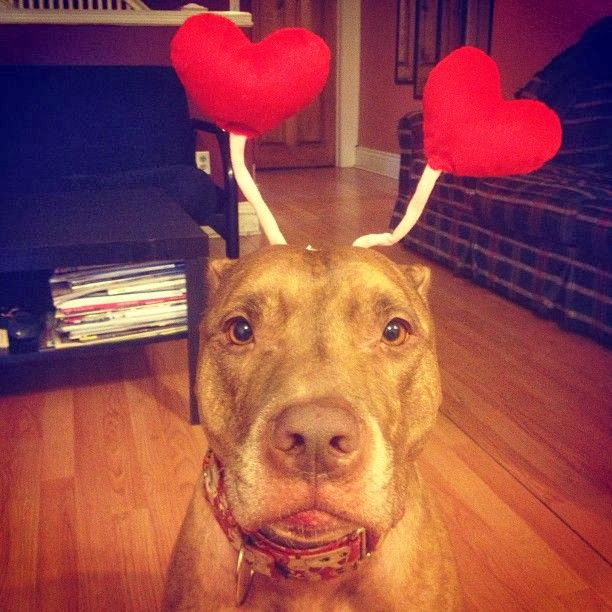 Scout the pit bull balances stuff on his head (30 pics), stuff on Scout's head, scout with hearts on his head