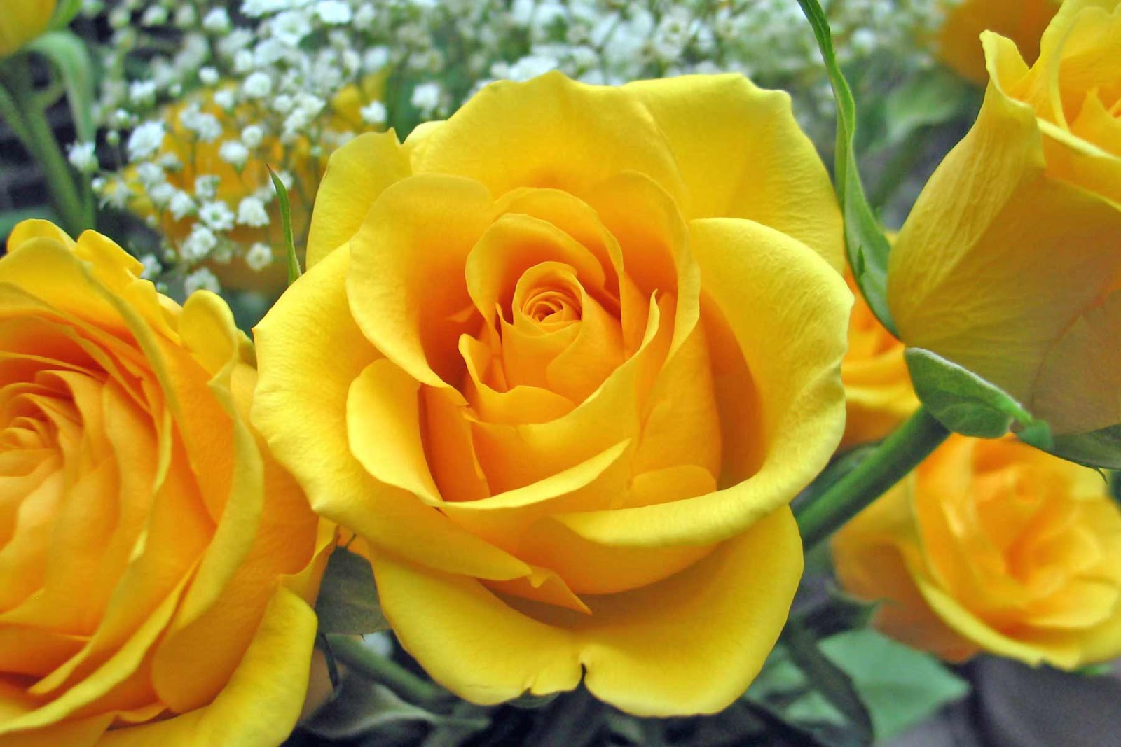 Beauty Flower Yellow Rose Collection Of Beautiful Flowers 2013