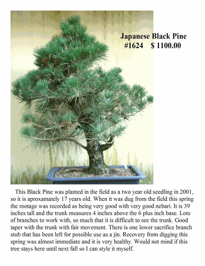 #1624 Japanese Black Pine