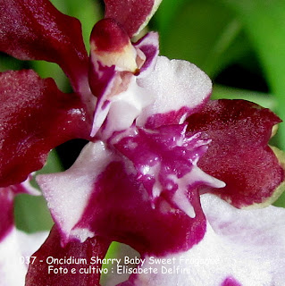 "Oncidium Sharry Baby Sweet ""Fragance"" a orquídea chocolate"""