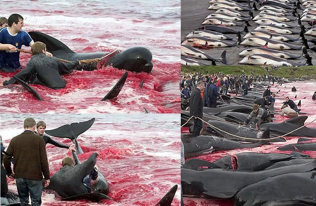 Calderon dolphins slaughter