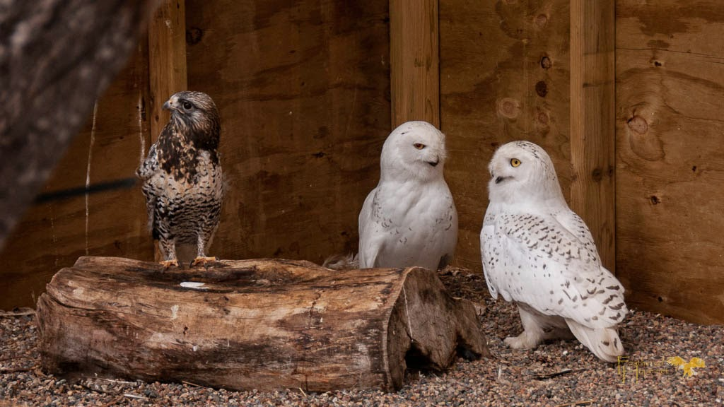 A Rough-legged hawk and 2 Snowy Owls welcome me into their enclosure at the Raptor Education Group rehab facility. Photo by Lisadawn Schram, Feathered Hope.Net