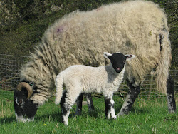Swaledale ewe and lamb