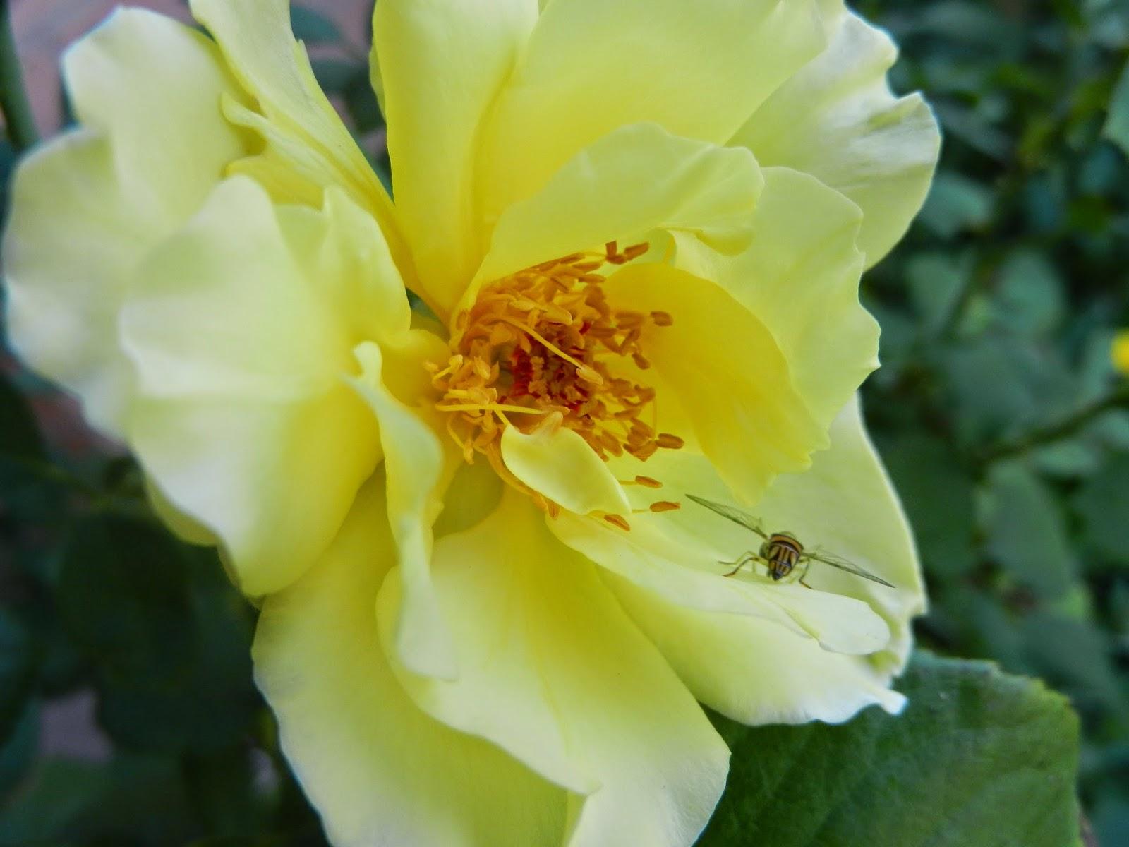 white licorice rose, white/yellow rose