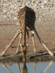 Day 8/9 Etosha National Park-Giraffe at Waterhole