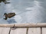 rata pe Lacul Rosu