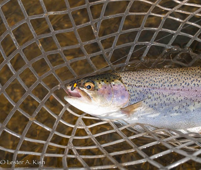 Henry's Fork rainbow trout.