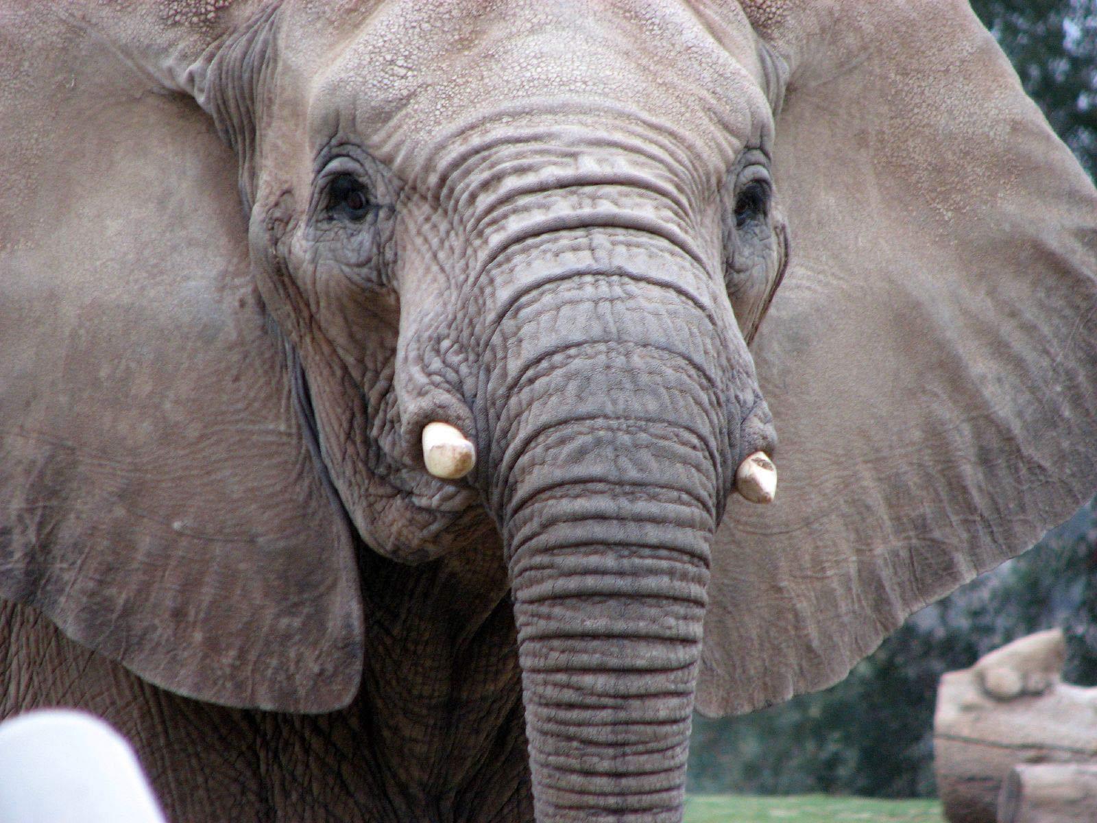 Http Piperbasenji Blogspot Com 2011 07 African Elephants Html