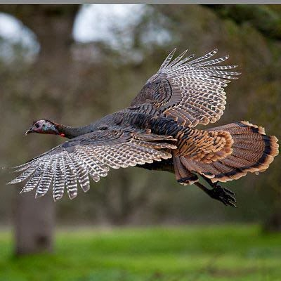 Wild turkey flight - photo#1