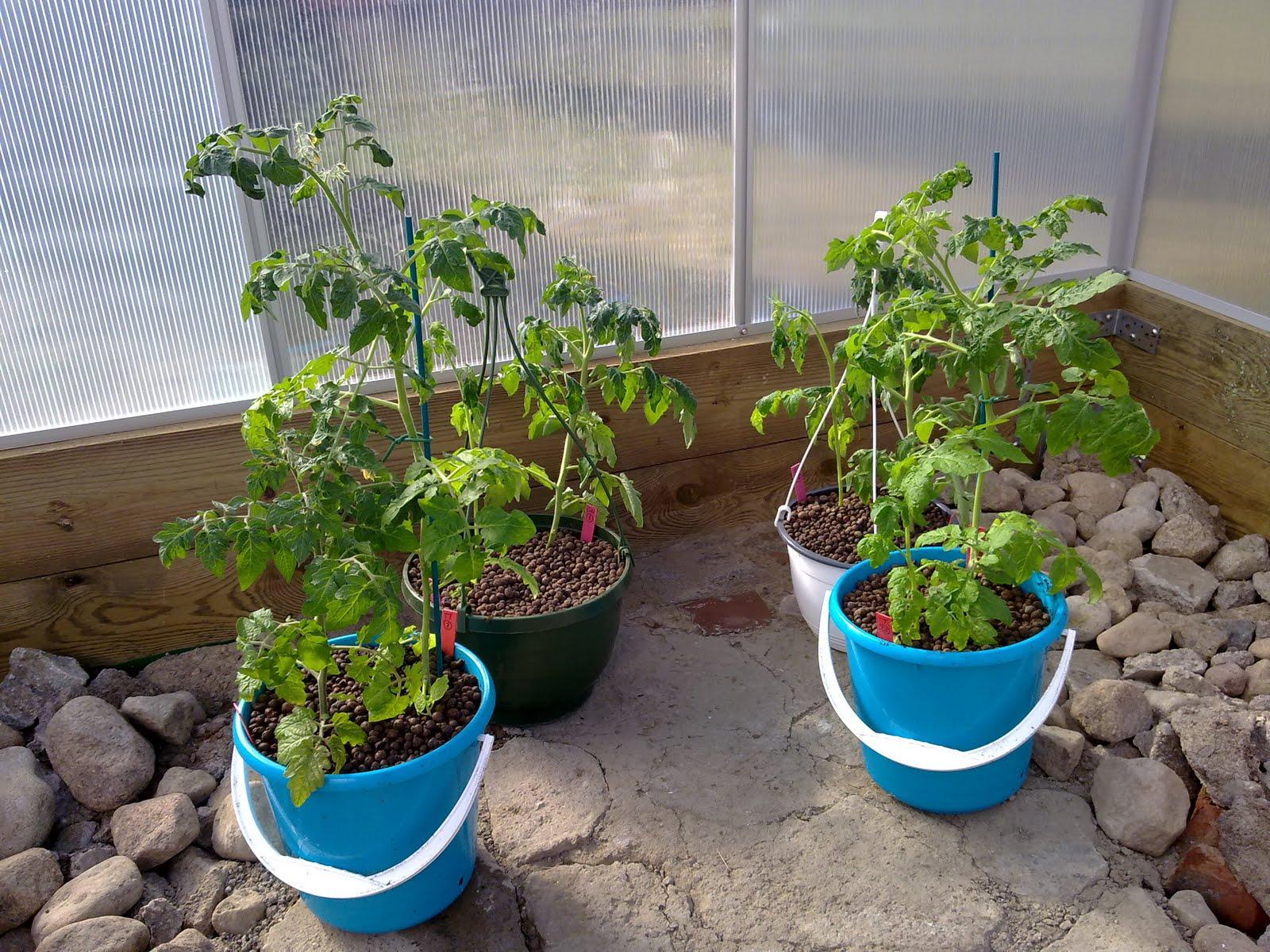 Tomaatin kasvatus ämpärissä