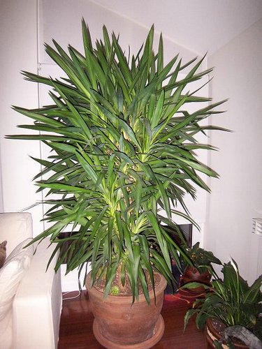 Crear un jard n yuca for Planta yuca exterior