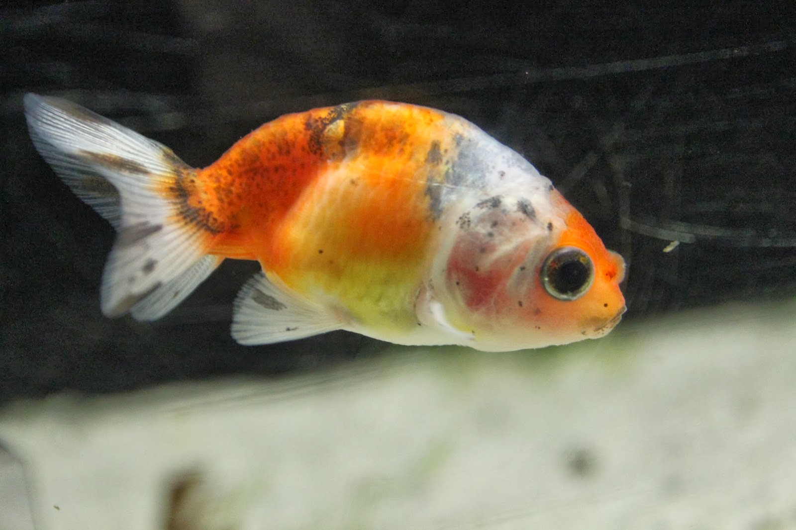 The gallery for --> Black Pearlscale Goldfish