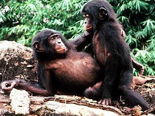gambar monyet, orang utan, simpanse, gorila, bonobo yang homo-Binatang-Binatang dan hewan Yang Homo di dunia - munsypedia | un1x project