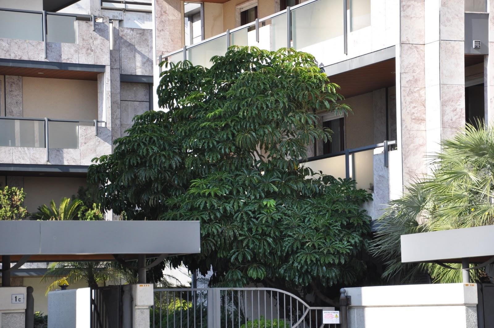 Cagliari in verde un 39 altra pianta che scappa di casa - Pianta schefflera ...