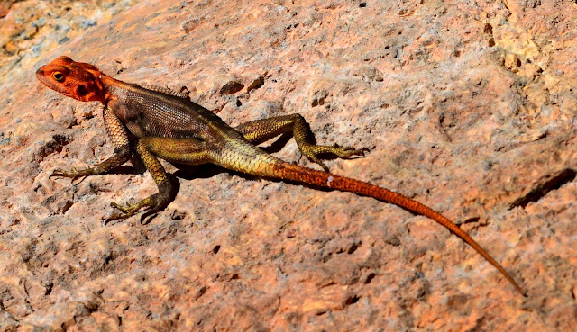 Lizard with orange head and tail, yellow on legs and black on body