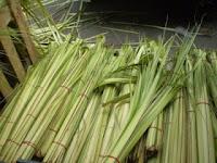 janur kuning obat herbal mengatasi penyakit alami tradisional kuno