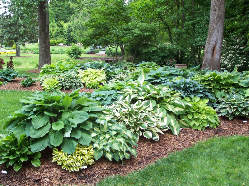 Landscaping Trees For Shade : Because of their immense ease love for shade and desire moisture