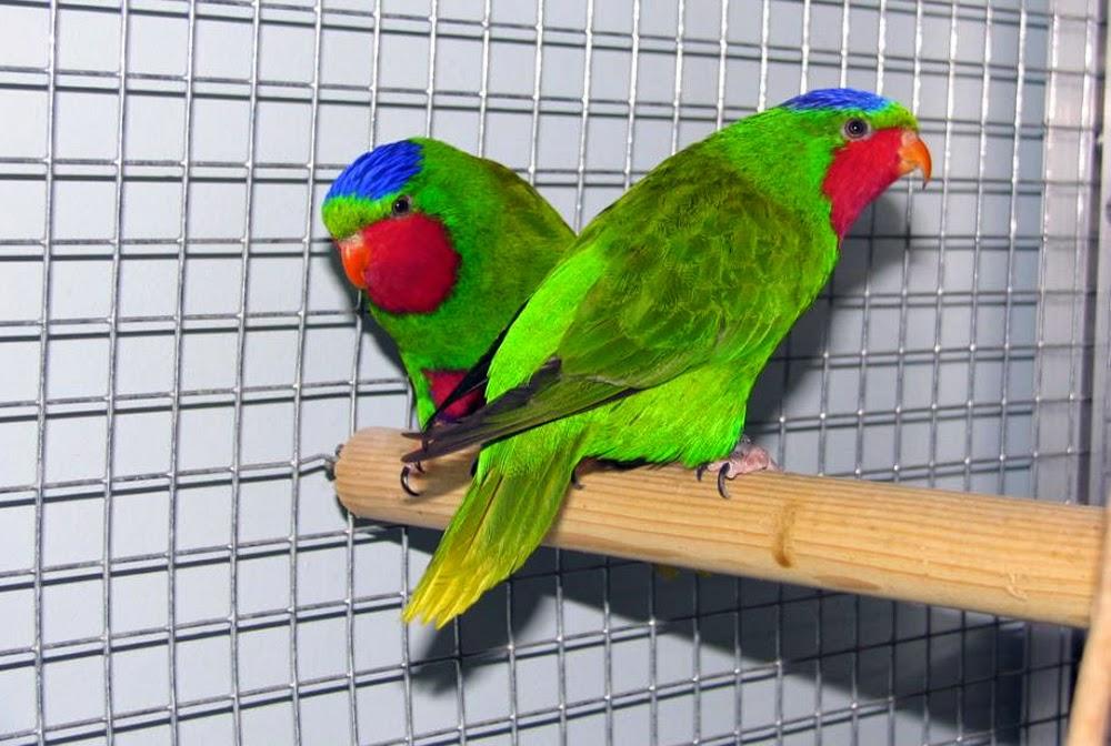 Foto Burung Srindit Sumatera Terbaik