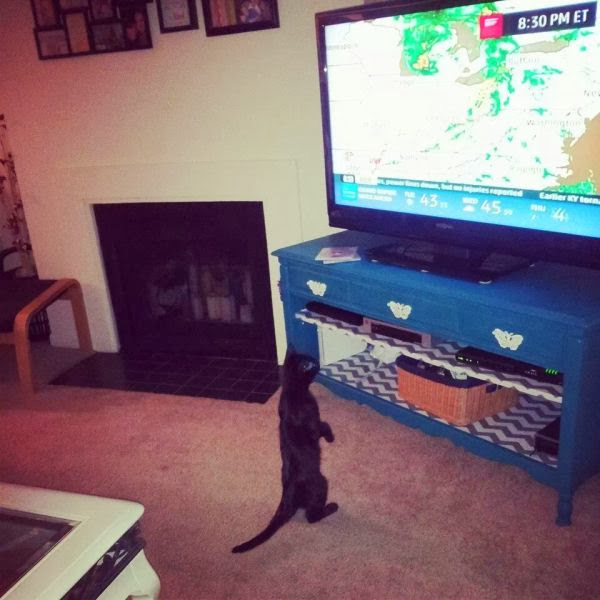 Funny cats - part 78 (35 pics + 10 gifs), cat pics, cat watches weather report on tv