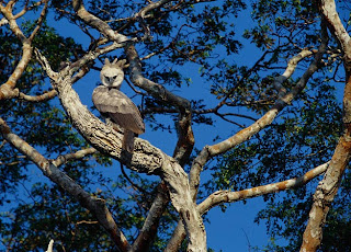 Harpy Eagle pictures