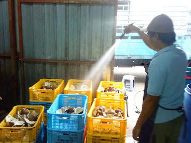Isi kelapa dibersihkan sebelum diproses