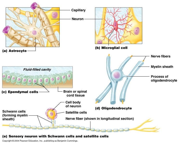 an overview of the glial cells its function structure and three types of cells The functions of glia in the cns radial glia cell markers and their major functions the novel roles of glial cells revisited.