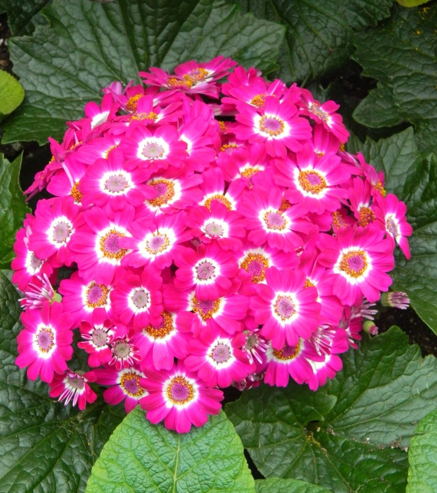 Florist's cineraria Allan Gardens Conservatory Spring Flower Show 2014 by garden muses-not another Toronto gardening blog