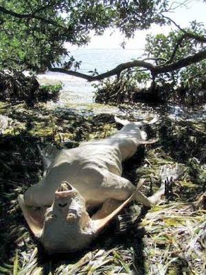 sirena blanca con dientes muerta en una playa