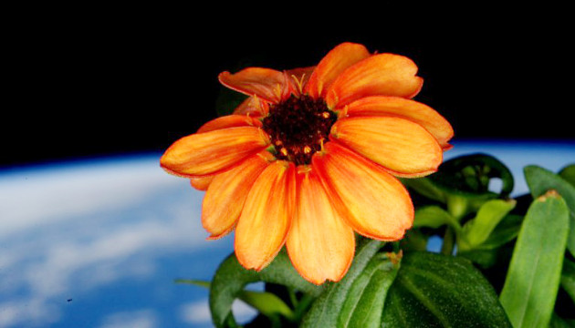 Bunga Zannia Yang Mekar di Luar Angkasa