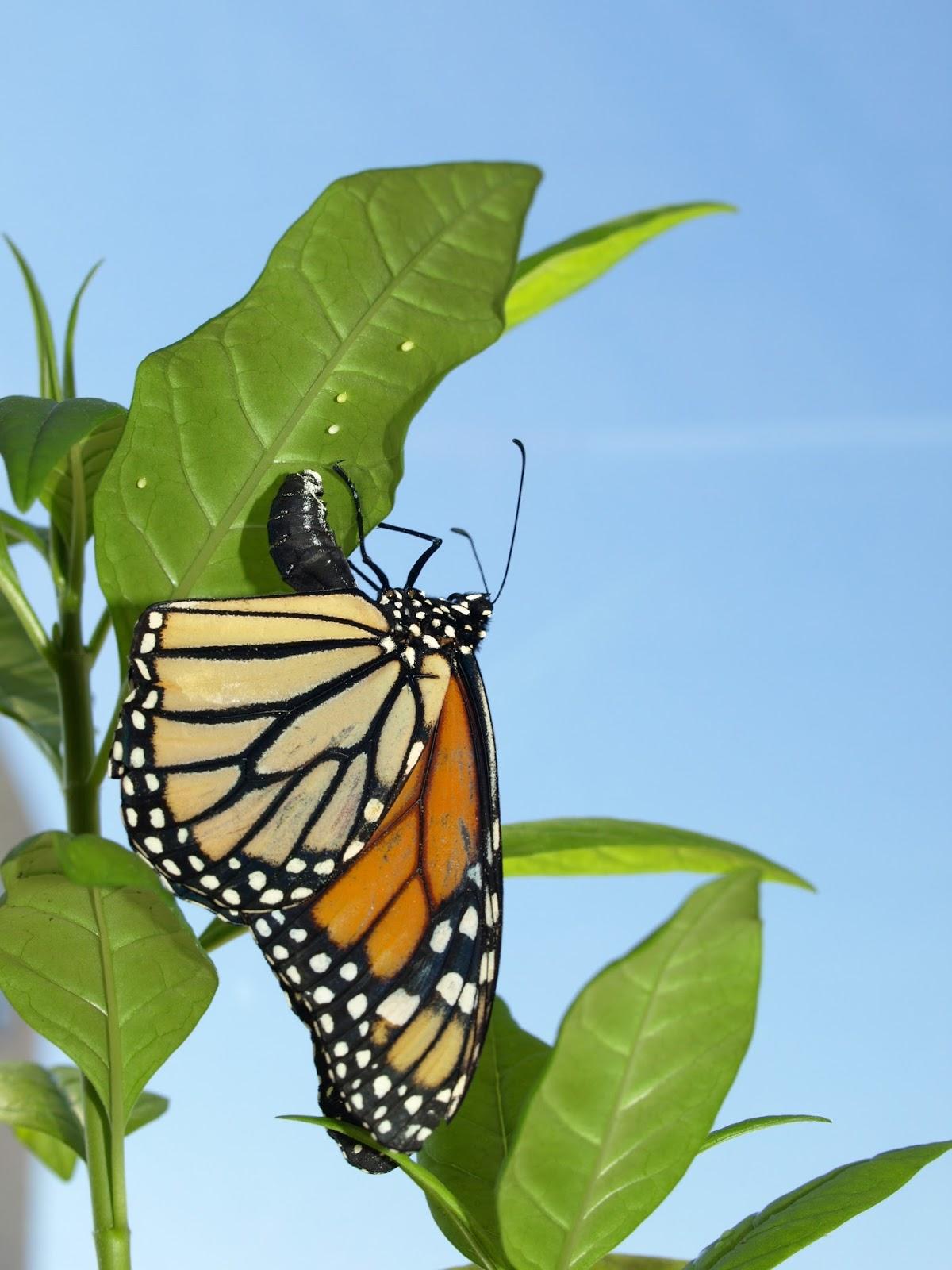 monarch butterflies and milkweed symbiotic relationship worksheet