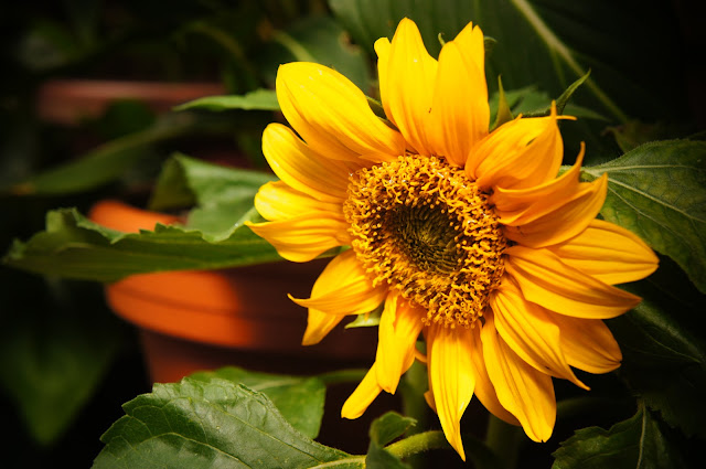 public domain picture of sunflower