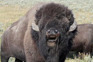 Funny Bison