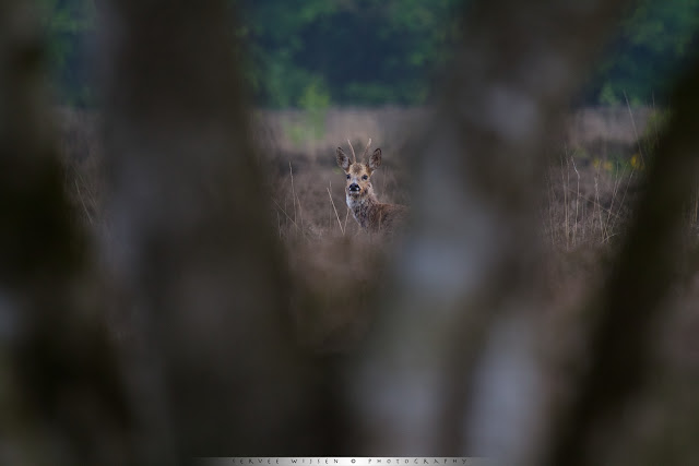 Ree achter Berk - Roe Deer behind Birch tree