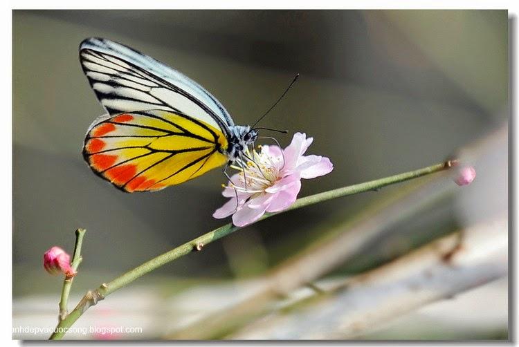 Con bướm xuân 12