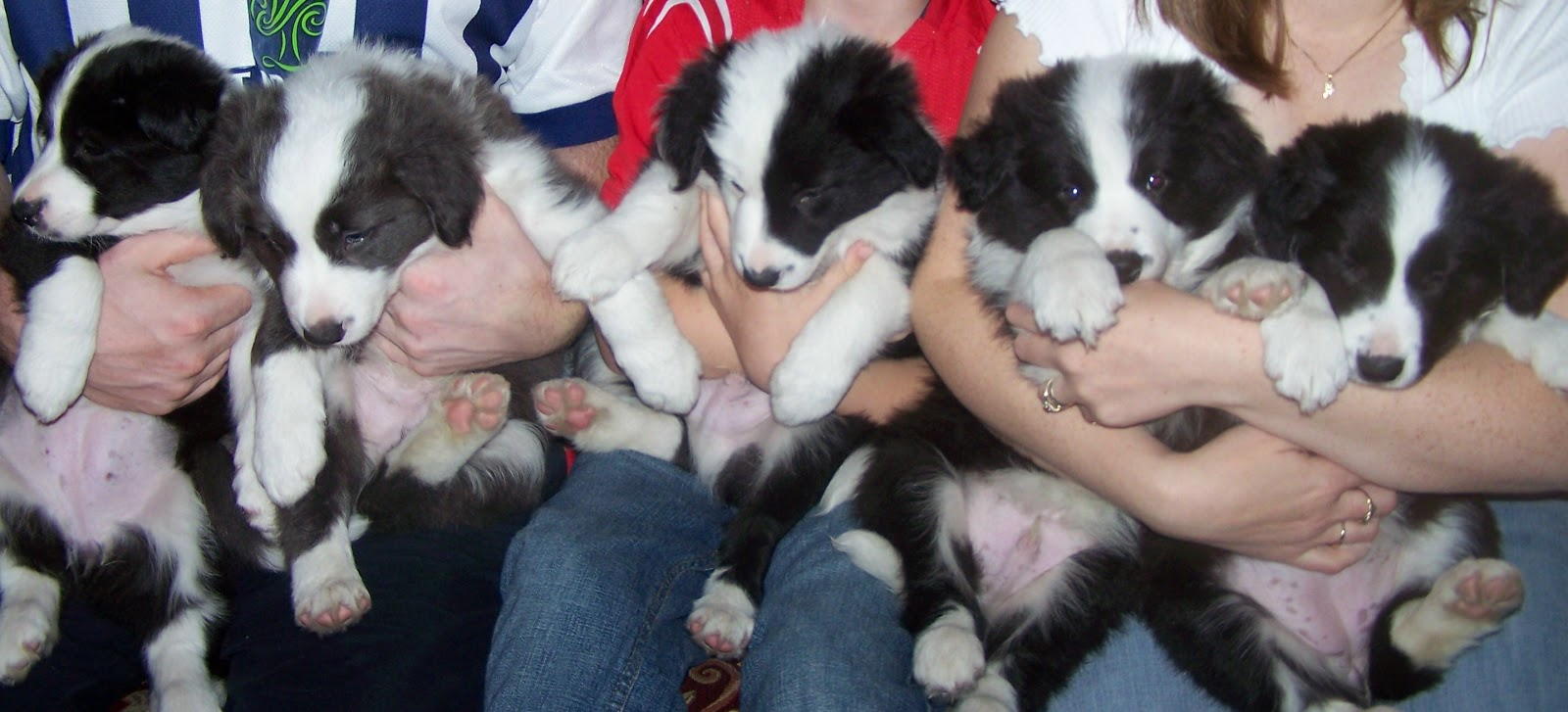Newborn Border Collie Puppies