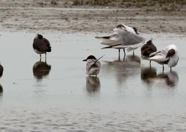 Gull-billed Tern, Burton Mere RSPB - Cheshire