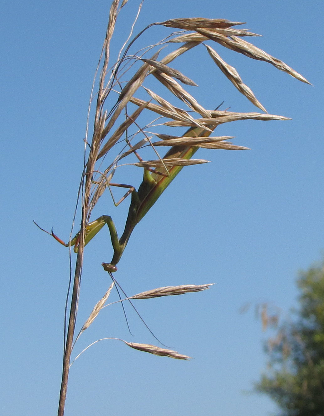 praying mantis on grass stem