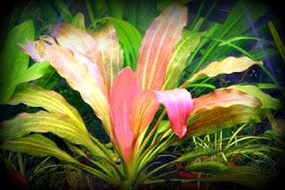 [Imagen: Echinodorus+Rose.jpg]