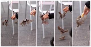 wróbelki koliberki