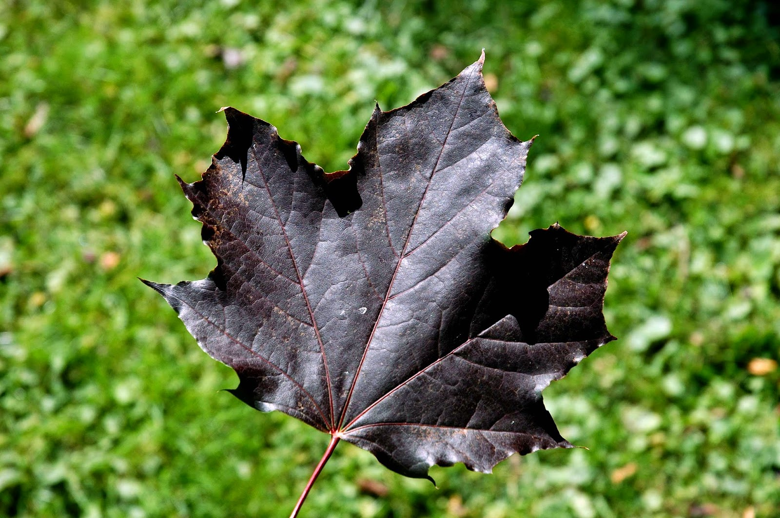Field Biology in Southeastern Ohio: Maples of Ohio