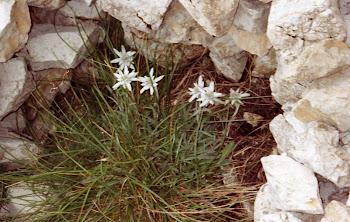 leontopodium alpino(Stella Alpina)