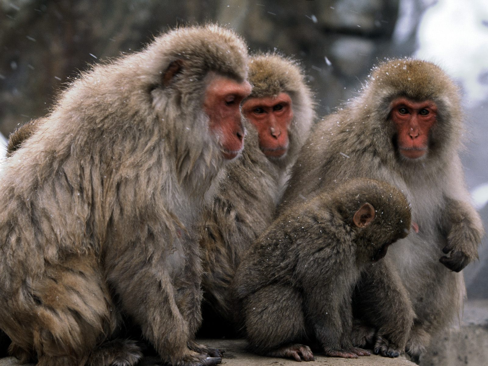 Monkey Wallpaper Pack 1 1600x1200 Wallpapers Pictures