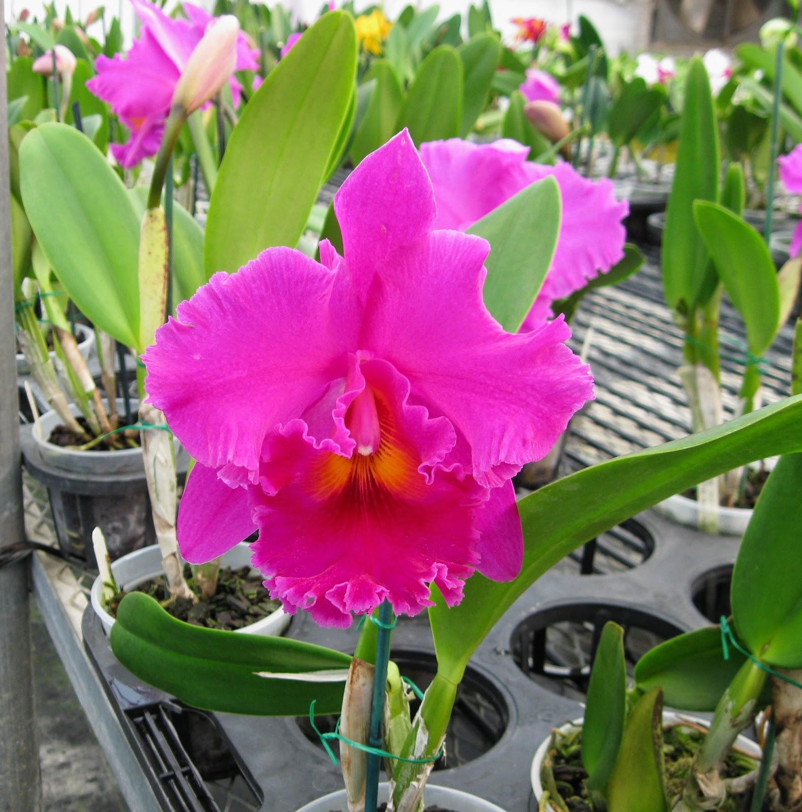 Blc. Cornerstone Yuan Gui orchid flowers